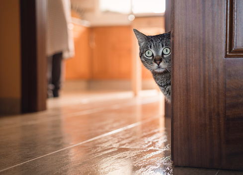 Staring「Tabby cat hiding behind a door at home」:スマホ壁紙(13)