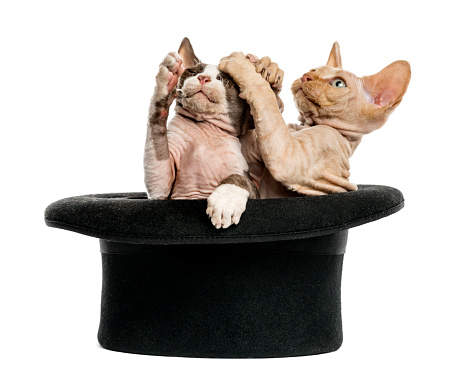 Kitten「Devon rex kittens getting out of a hat」:スマホ壁紙(18)