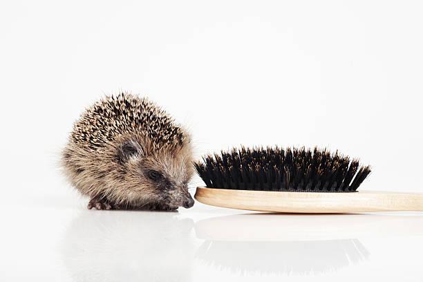 Hedgehog with hair brush on white background:スマホ壁紙(壁紙.com)