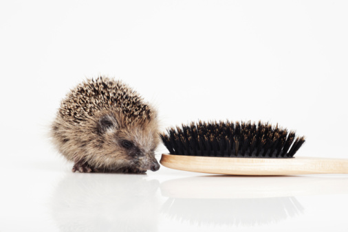 Hedgehog「Hedgehog with hair brush on white background」:スマホ壁紙(2)