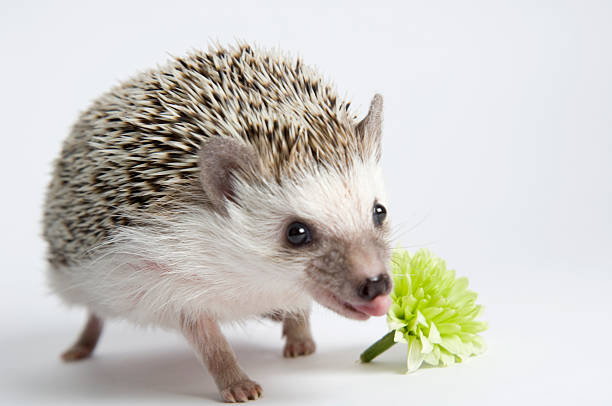 Hedgehog with a flower:スマホ壁紙(壁紙.com)