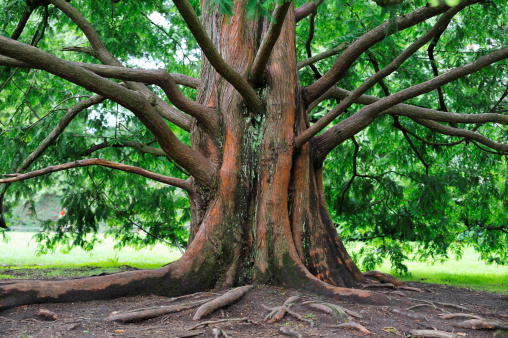 Sequoia Tree「Base of an large sequoia tree with many branches」:スマホ壁紙(13)