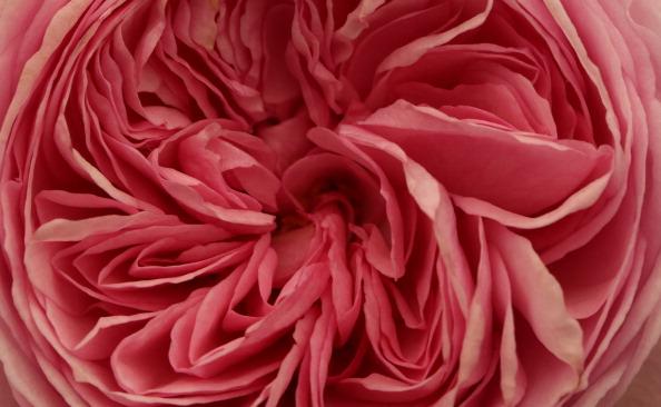 一輪の花「Chelsea Flower Show In Close Up」:写真・画像(14)[壁紙.com]
