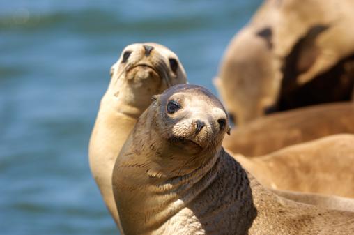 Sea Lion「close up photograph of a California sea lion」:スマホ壁紙(10)
