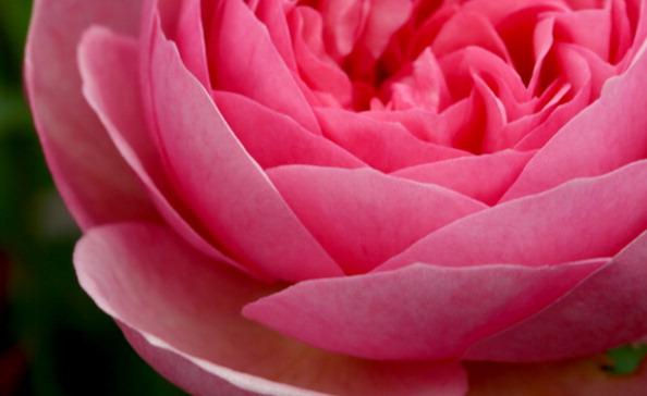 一輪の花「Chelsea Flower Show In Close Up」:写真・画像(13)[壁紙.com]