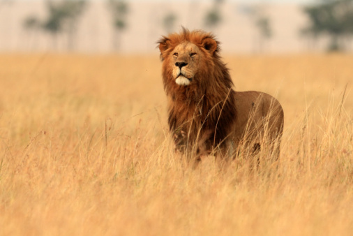 Male Animal「Male lion following pride females 」:スマホ壁紙(18)