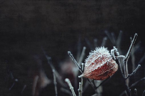 Chinese Lantern「Hoarfrost on Chinese lantern flower」:スマホ壁紙(7)