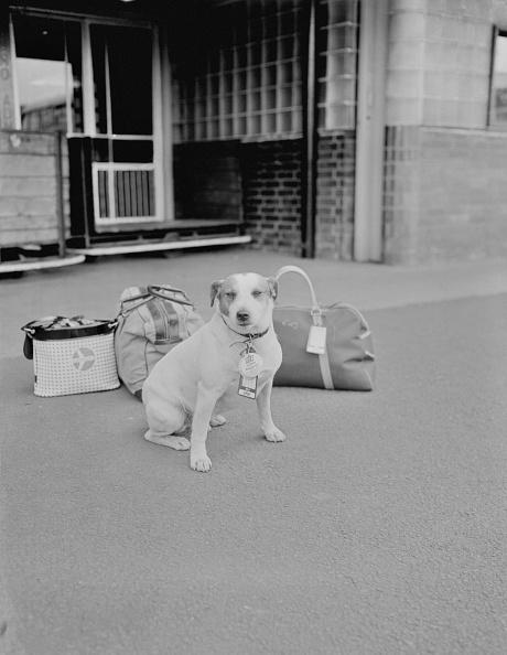 Monty Fresco「Fox Terrier Guards Luggage」:写真・画像(2)[壁紙.com]