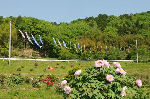 こいのぼり「Peonies and carp streamers, Hyogo Prefecture, Honshu, Japan」:スマホ壁紙(9)