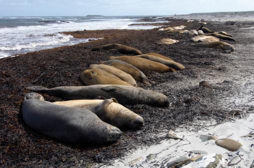 Falkland Islands「Southern elephant seals (Mirounga leonina) lying on beach」:スマホ壁紙(18)