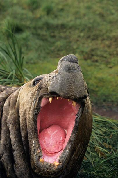 Southern elephant seal (Mirounga leonina) threat display, Antarctic region, (Close-up):スマホ壁紙(壁紙.com)