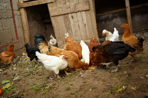 Hen「Hens」:スマホ壁紙(18)