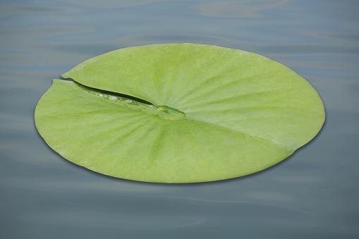 Water Lily「Lotus leaf」:スマホ壁紙(2)