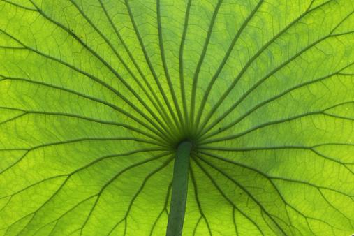 Water Lily「Lotus leaf, Mincio Park, Mantova」:スマホ壁紙(3)
