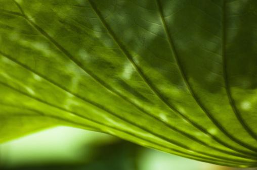 Lotus Water Lily「Lotus leaf, close-up」:スマホ壁紙(11)