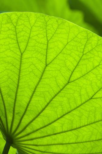 Lotus Water Lily「Lotus leaf, close-up」:スマホ壁紙(10)