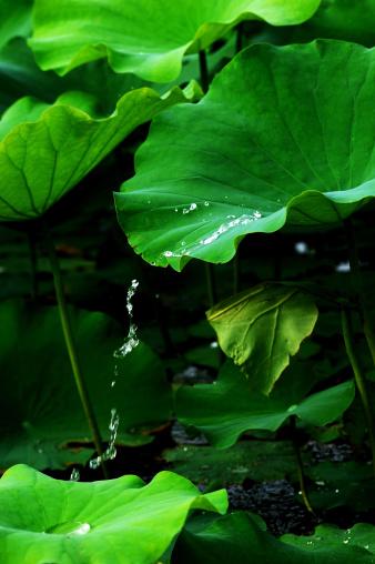 名画「Lotus leaf」:スマホ壁紙(18)
