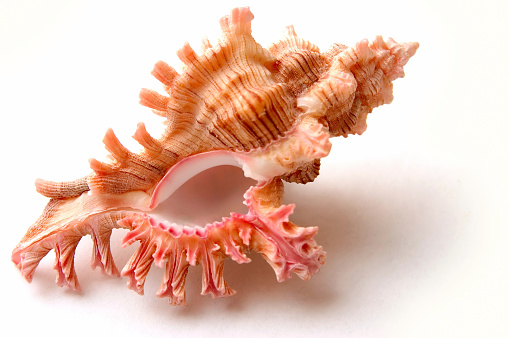 snails「Murex Palmarosa」:スマホ壁紙(3)