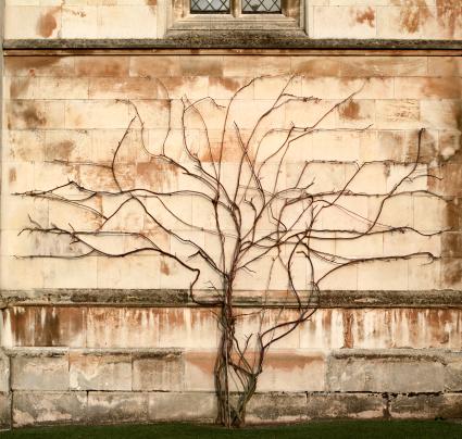 Family Tree「Tree vs wall - Creeper plant growing on stone wall」:スマホ壁紙(6)