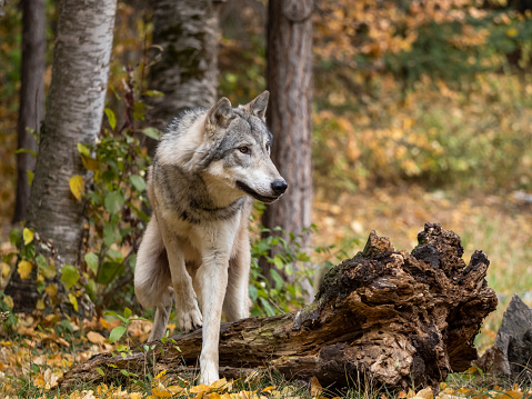 Animals Hunting「Wolf in Trees Intense Look in Natural Autumn Setting Captive」:スマホ壁紙(1)