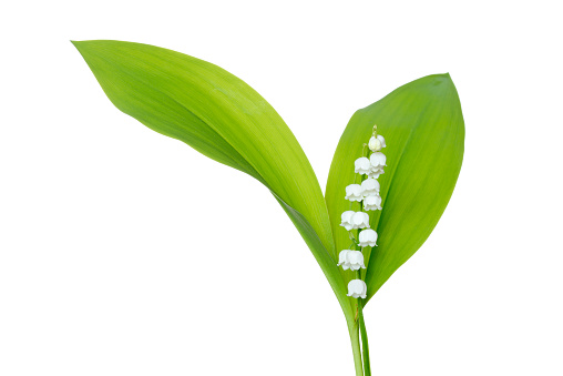 flower「Lily of the Valley (Convallaria majalis) against white background.」:スマホ壁紙(8)