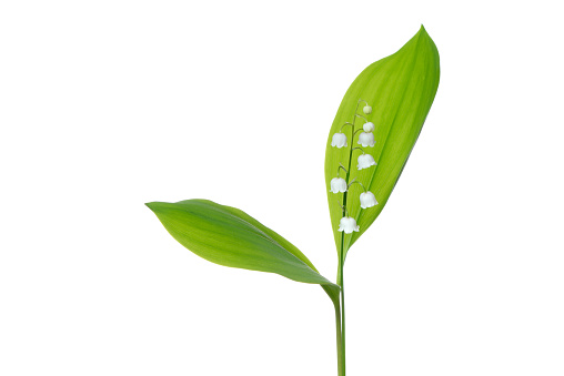 flower「Lily of the Valley (Convallaria majalis) against white background.」:スマホ壁紙(6)