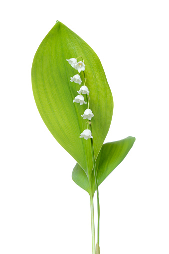 flower「Lily of the Valley (Convallaria majalis) against white background.」:スマホ壁紙(9)
