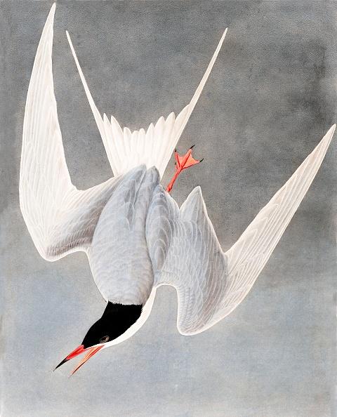 Animal Body Part「Great Tern」:写真・画像(4)[壁紙.com]