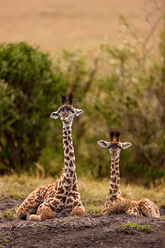 Giraffe「Two baby giraffes are sitting and looking to camera」:スマホ壁紙(5)