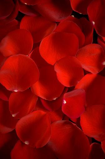 薔薇「レッドのローズ花びら」:スマホ壁紙(11)