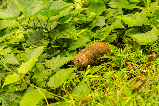 Akaka Falls「Indian mongoose (Herpestes edwardsi) in shrubbery, Akaka Falls State Park, Hawaii, USA」:スマホ壁紙(17)