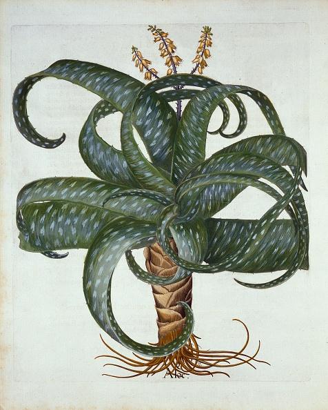 Hand Colored「Barbados Aloe」:写真・画像(3)[壁紙.com]