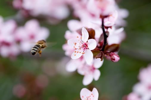 Cherry Blossoms「Germany, Wuerzburg, Honey bee flying」:スマホ壁紙(11)