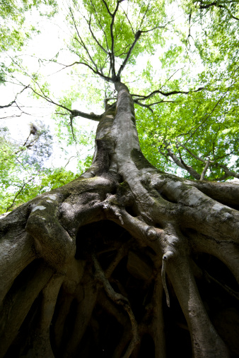 Wilderness Area「Beech tree roots」:スマホ壁紙(1)