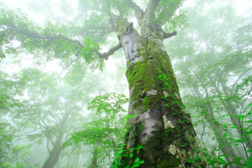 夏「Beech Tree」:スマホ壁紙(19)