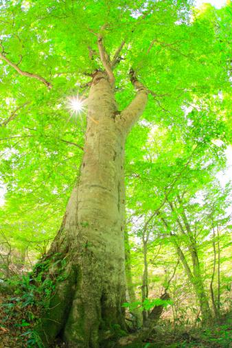 Grove「Beech Tree」:スマホ壁紙(12)