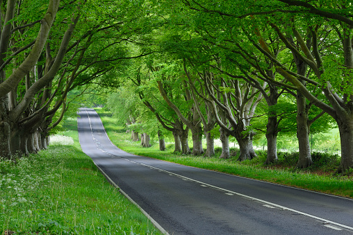Avenue「Beech tree lined road near Wimborne. Wimborne, Dorset, England, UK.」:スマホ壁紙(18)