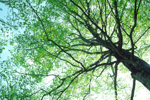Looking Up「Beech tree」:スマホ壁紙(19)