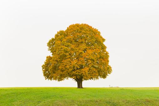Single Tree「Beech Tree in Autumn」:スマホ壁紙(14)