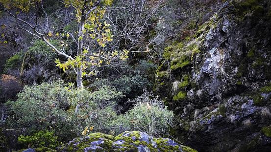 セイヨウカジカエデ「Young Sycamore Sappling in Fall Color, Pinnacles National Park, East Side, San Benito County, California」:スマホ壁紙(11)