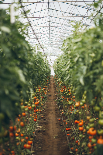 Harvesting「Interior of big greenhouse garden」:スマホ壁紙(6)