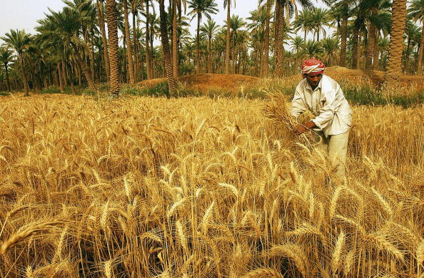 Baghdad「Iraqi Farmers Harvest Barley」:写真・画像(1)[壁紙.com]