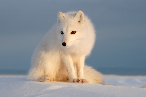 Arctic Fox「Polar fox.」:スマホ壁紙(1)