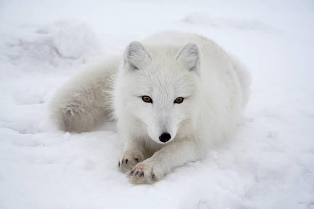 Polar fox. Pending.:スマホ壁紙(壁紙.com)