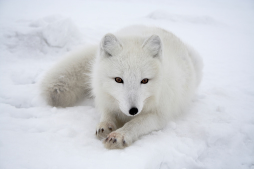 Animals In The Wild「Polar fox. Pending.」:スマホ壁紙(3)