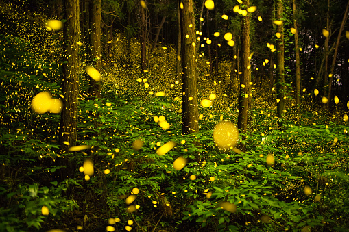 Satoyama - Scenery「Fireflies glowing in the forest of Japan displaying the natural wonder of bio luminescence」:スマホ壁紙(14)