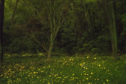 Satoyama - Scenery「Fireflies glitter in a forest.」:スマホ壁紙(13)