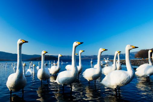 野生動物「Swans at Lake」:スマホ壁紙(19)