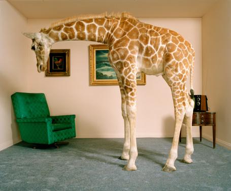 Giraffe「Giraffe in living room, side view」:スマホ壁紙(3)