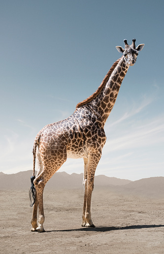 Giraffe「Giraffe in Remote, Naturalistic Setting」:スマホ壁紙(5)